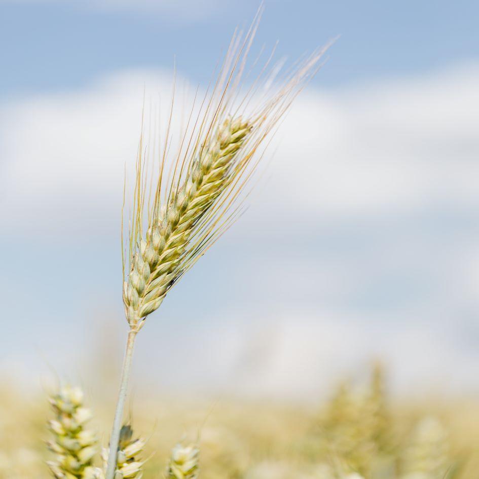 kaboompics_Ear of grain